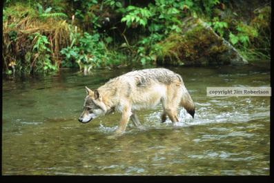18 wolves shot near Interior AK village to boost moose population | GarryRogers Biosphere News | Scoop.it