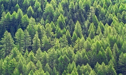 Research Finds Vapors From Coniferous Trees Could Help Slow Global Warming | EcoWatch | EcoWatch | Scoop.it