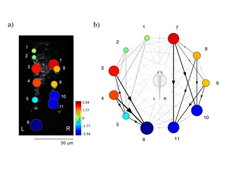 Hierarchy of Neural Organization in the Embryonic Spinal Cord: Granger-Causality Graph Analysis of Calcium Imaging Data | Highlights | Scoop.it