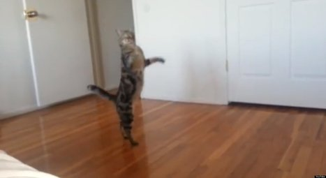 Just A Cat. Walking On Its Hind Legs (VIDEO) - Huffington Post UK | Cats Everywhere | Scoop.it