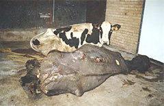 Vaches laitières : le martyre des mères non-humaines   Produits Laitiers Pasteurisés Danger !   Scoop.it