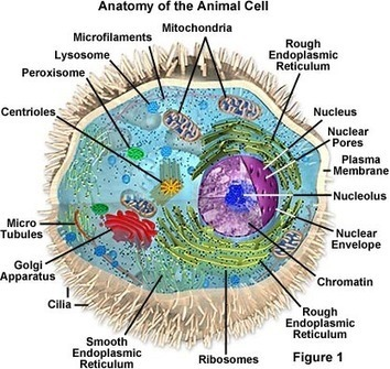 Molecular Expressions Cell Biology: Animal Cell Structure | The Different type of Cells and their Organelles | Scoop.it