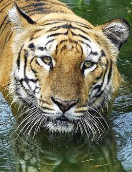 Project to increase wild tiger population | Endangered species | Scoop.it
