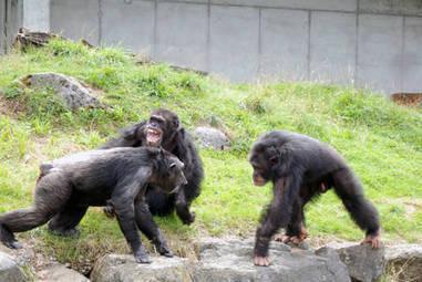 Les chimpanzés ont aussi leurs médiateurs sociaux   Beyond the cave wall   Scoop.it