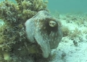 How Does That Crazy Camouflage Octopus Disappear? [Video] | Octopus Chronicles, Scientific American Blog Network | All about water, the oceans, environmental issues | Scoop.it