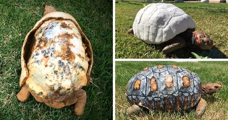Injured Tortoise Receives World's First 3D Printed Shell | grants | Scoop.it