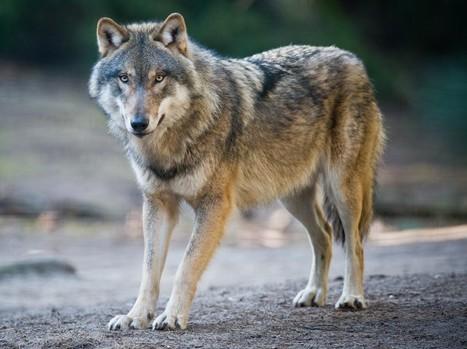 Dix vérités et contre-vérités sur le loup | Nature et climats | Scoop.it