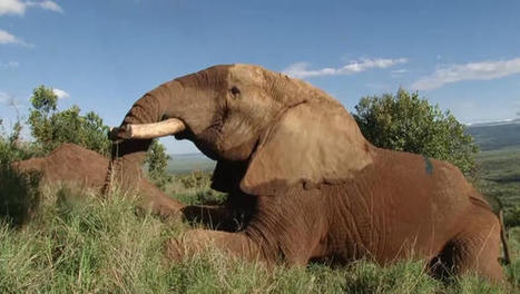 Mountain Bull, legendary Kenyan elephant, found dead | CLOVER ENTERPRISES ''THE ENTERTAINMENT OF CHOICE'' | Scoop.it