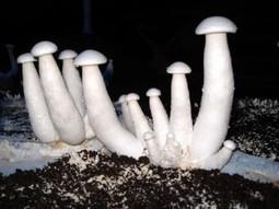 Cultiver le Calocybe indica, milky mushroom | Dossier champignons comestibles