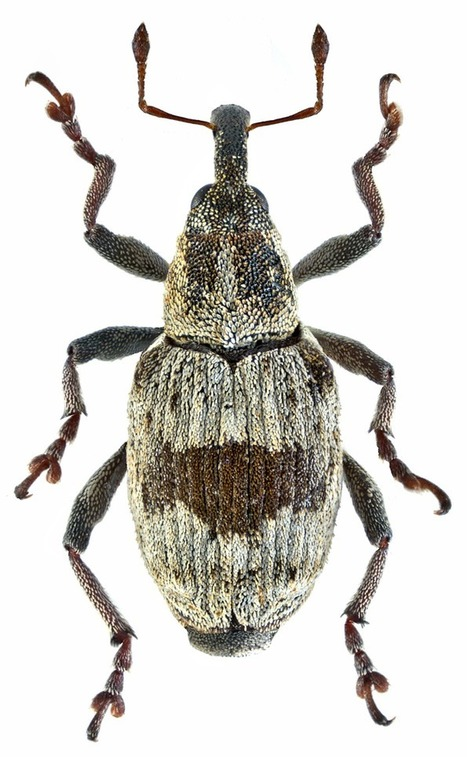 ColéoLOL | EntomoScience | Scoop.it