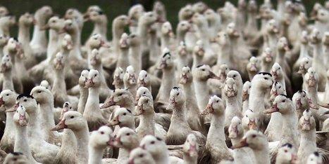 Conseil Régional : pas d'unanimité pour la motion de soutien à la filière palmipèdes à foie gras | Agriculture en Dordogne | Scoop.it