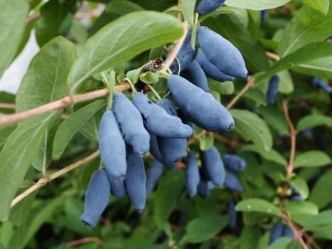 La baie de mai, un fruit méconnu à planter dans votre jardin | The Blog's Revue by OlivierSC | Scoop.it