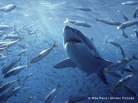 eBook Review: Jeff Corwin's Explorer Series: Sharks | All about water, the oceans, environmental issues | Scoop.it