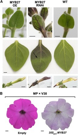 A Conserved Network of Transcriptional Activators and Repressors Regulates Anthocyanin Pigmentation in Eudicots   postharvest central   Scoop.it