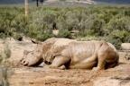 Afrique du Sud: on massacre de plus en plus les rhinocéros - RTBF Monde   Actualités Afrique   Scoop.it