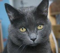 Parole d'animaux: DONNE : 1 chat(s) Type : Chartreux | Les chartreux | Scoop.it