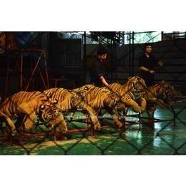 Sriracha Tiger Zoo | Discover amazing Thailand | Scoop.it