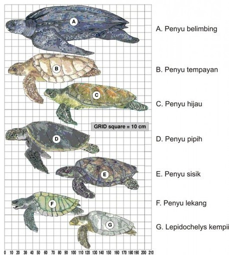 Penyu Sisik dan Umbi Takka Maskot HCPSN 2014 : Kementerian Lingkungan Hidup | Marine Conservation (Konservasi Laut) | Scoop.it