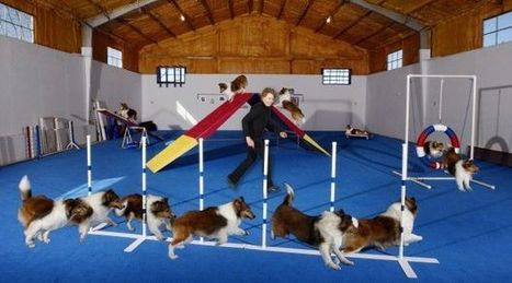 Agile bodied: Alcova dog, an agility champion, shows us how he does it | Shetland Sheepdogs | Scoop.it