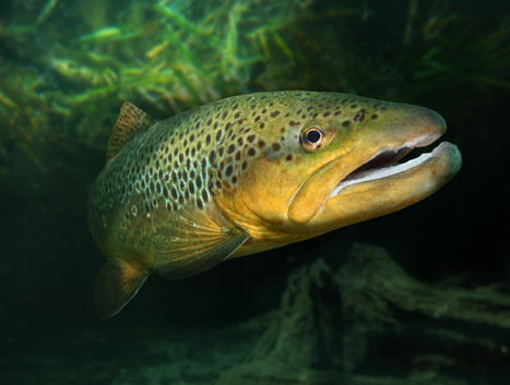 Frankensalmon could breed with trout, produce frankentrout   @FoodMeditations Time   Scoop.it