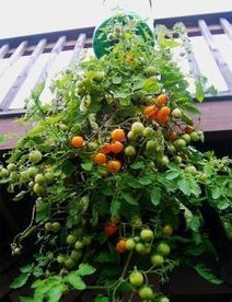Save Money Growing Topsy Turvy Tomatoes On Your Own Patio Or Deck | New Retirement Grandmother Projects | Scoop.it