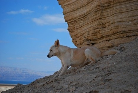 In Israel, a battle to save the ancient Canaan dog | Biblical Studies | Scoop.it