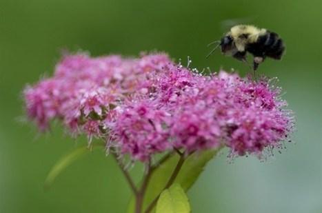 Des pesticides dangereux pour les abeilles interdits à Montréal | Nous avons besoin des abeilles | Scoop.it