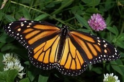 Is it true the myth that butterflies can not fly if they lose that dust from the wings? | onlinepetanswers | Scoop.it