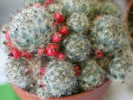 Photos de Cactus : Mammillaria prolifera - Ebnerella prolifera - Mammillaria pusilla - Texas Nipple Cactus   Cactus and Succulents : Photos de cactus et de plantes grasses gratuites et libres de droits   Scoop.it