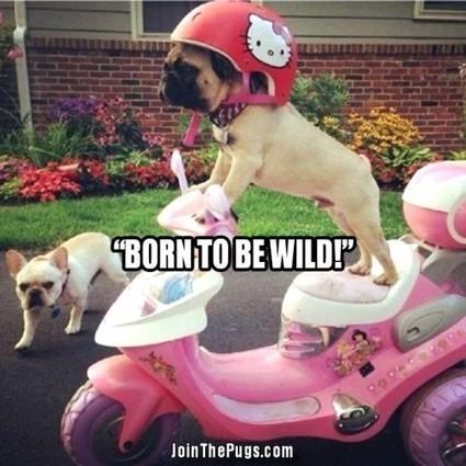 Pug on Wheels - Join the Pugs | Pugs | Scoop.it