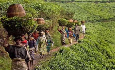 Rwanda: Increase in Coffee Production 'to Boost' Economic Growth | Market information | Scoop.it