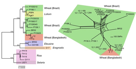 bioRxiv: Emergence of wheat blast in Bangladesh was caused by a South American lineage of Magnaporthe oryzae (2016) | Publications from The Sainsbury Laboratory | Scoop.it