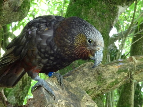 Smart kaka - can you teach old parrots new tricks? | All Things Zygodactyl | Scoop.it