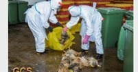 Avian Flu Diary: Macao: New Detection Of Avian H7 In Poultry Market - Live Sales Halted 3 Days | Avian influenza virus A(H7N9) | Scoop.it
