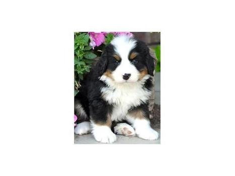 Bernese Mountain Puppies ready to go - Classified Ads UK | Place Free Ads | freelly.co.uk | UK Classifieds | Scoop.it