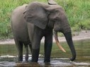 62% of African forest elephants killed in 10 years | Wildlife and Conservation | Scoop.it