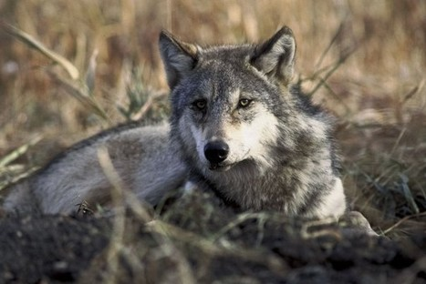 Scientists call for lifting protections for Great Lakes wolves | Agua | Scoop.it