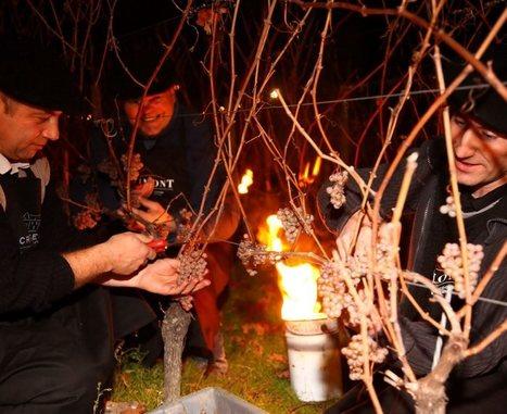 La vendange de la Saint-Sylvestre - | Le Vin et + encore | Scoop.it