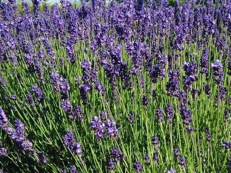 Les plantes anti-moustiques, des insecticides naturels ! - Blog Alsagarden - Plantes rares, Jardins, Actualités... | Jardinerie Alsagarden | Scoop.it