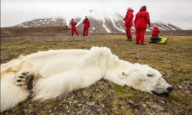 Polar bears 'may need to be fed by humans to su...