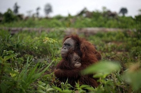 Pregnant orang-utan hugs her daughter as bounty hunters in Borneo move in | The Wild Planet | Scoop.it