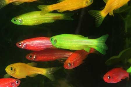 Glofish: Polémica do Peixe Luminoso Geneticamente Modificado | glofish | Scoop.it