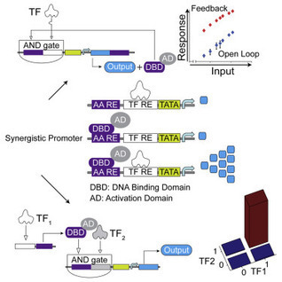 Synthetic Biology Platform for Sensing and Integrating Endogenous Transcriptional Inputs in Mammalian Cells | SynBioFromLeukipposInstitute | Scoop.it