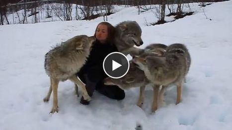 Ces loups n'avaient pas revu cette jeune femme depuis 2 mois. Leurs retrouvailles sont incroyables | animaux | Scoop.it
