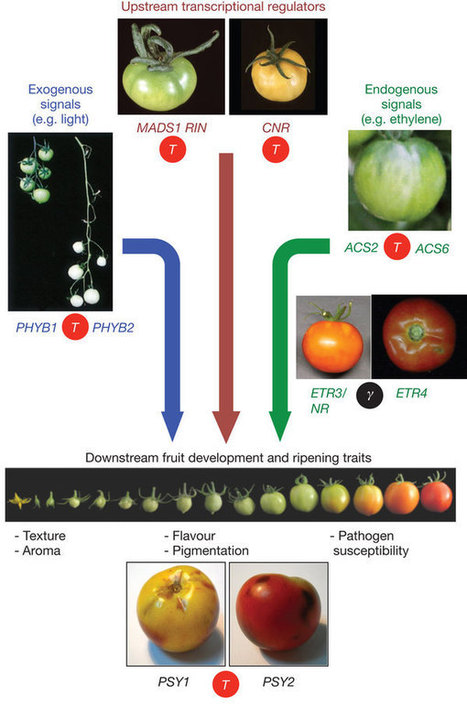 The tomato genome sequence provides insights into fleshy fruit evolution : Nature : Nature Publishing Group | tomato | Scoop.it