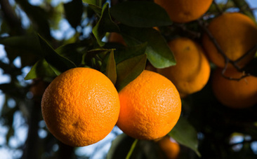 The Future of Fuel Might Be Inside of an Orange Grove | Nature Animals humankind | Scoop.it