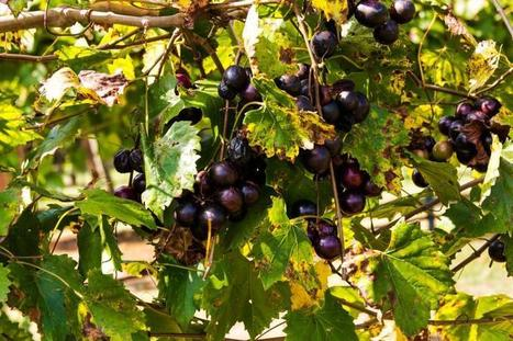 What are the Health Benefits of Muscadine Grapes? | Muscadinex Longevity | Scoop.it