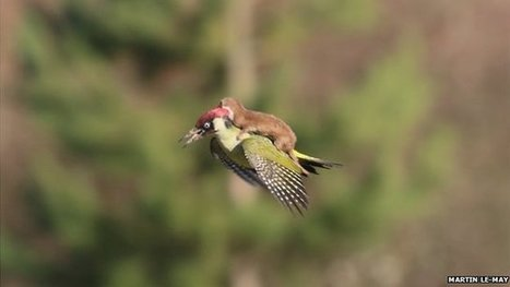 Weasel rides on woodpecker's back | Quirky (with a dash of genius)! | Scoop.it