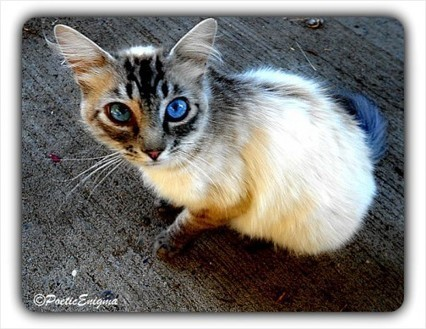 365 Day Project: Pretty Kitty with Blue Eyes | RedGage | Pet Photography | Scoop.it