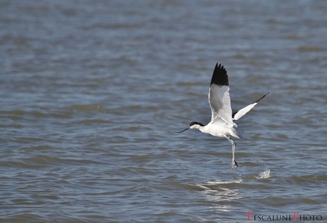 Avocette élégante (Recurvirostra avosetta), Pied avocet | Revue de Web par ClC | Scoop.it